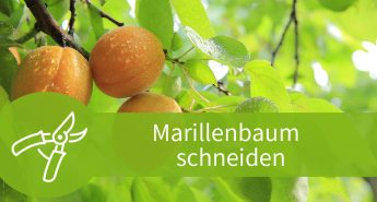 Marillenbaum schneiden – Anleitungen für Winter und Sommer