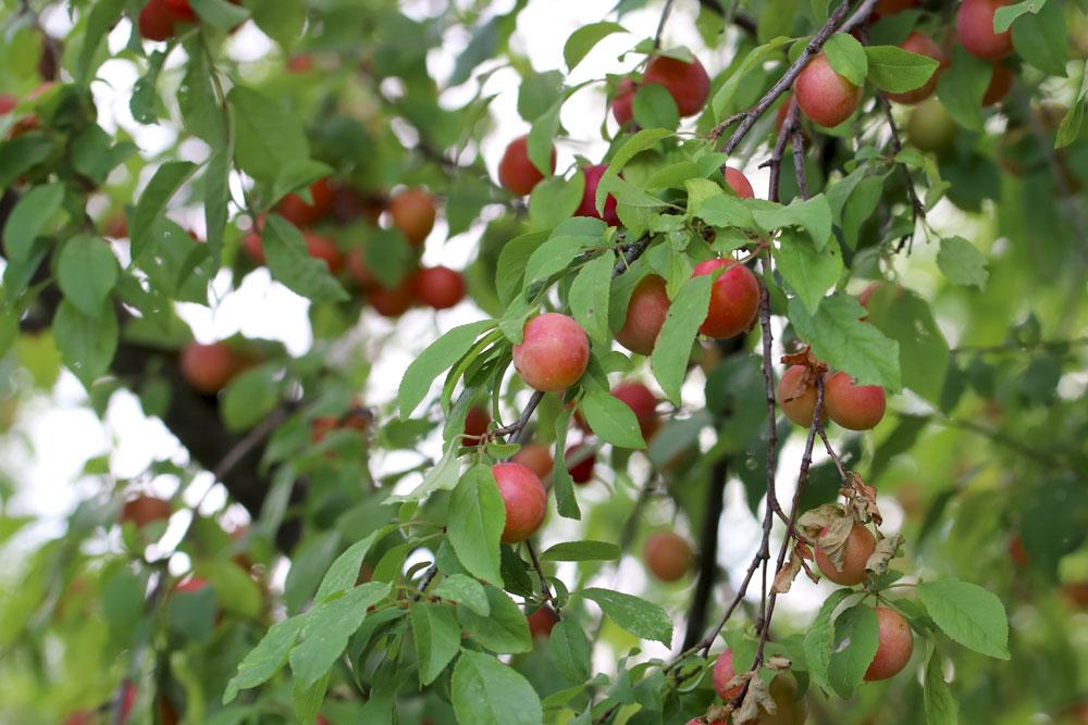 Wann Mirabellenbaum schneiden? wir zeigen es ihnen