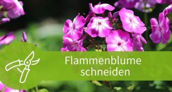 Flammenblume schneiden – Die Rückschnitte der Phlox