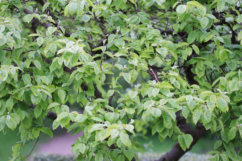Anleitung zum Quittenbaum schneiden