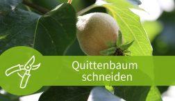 Quittenbaum schneiden