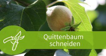 Quittenbaum schneiden – Schneiden ab dem fünften Jahr