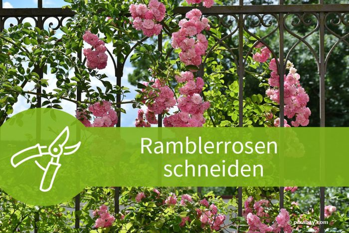 Ramblerrosen schneiden