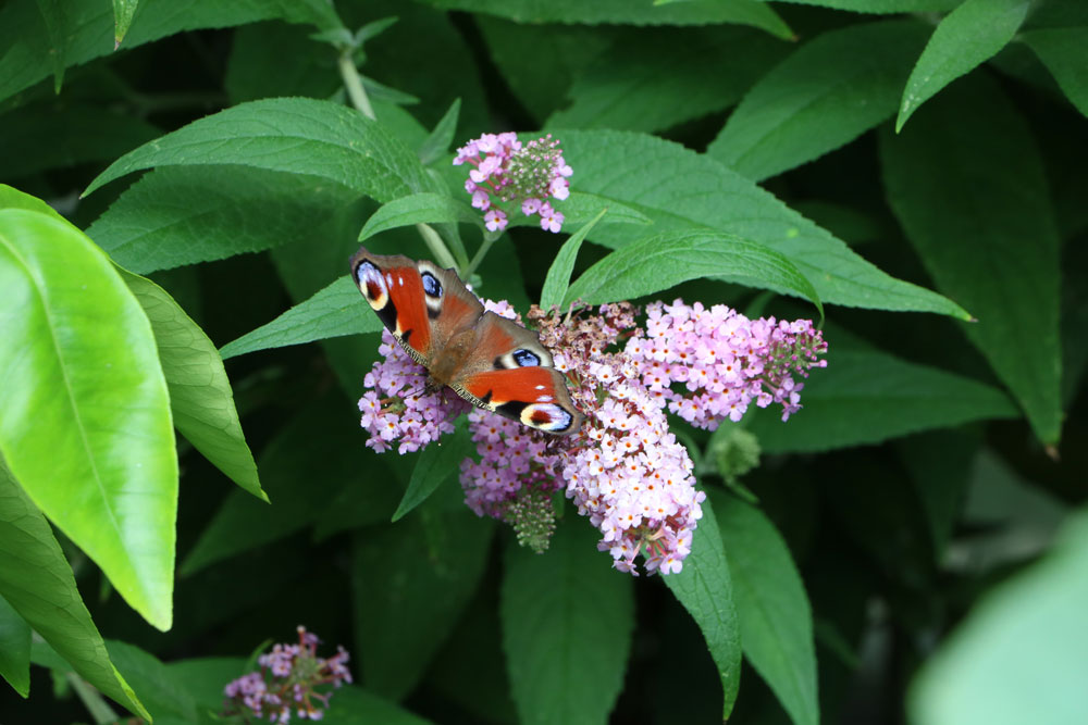 Anleitung zum Schmetterlingsstrauch schneiden