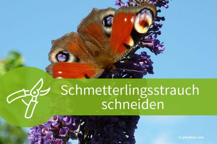 Schmetterlingsstrauch schneiden