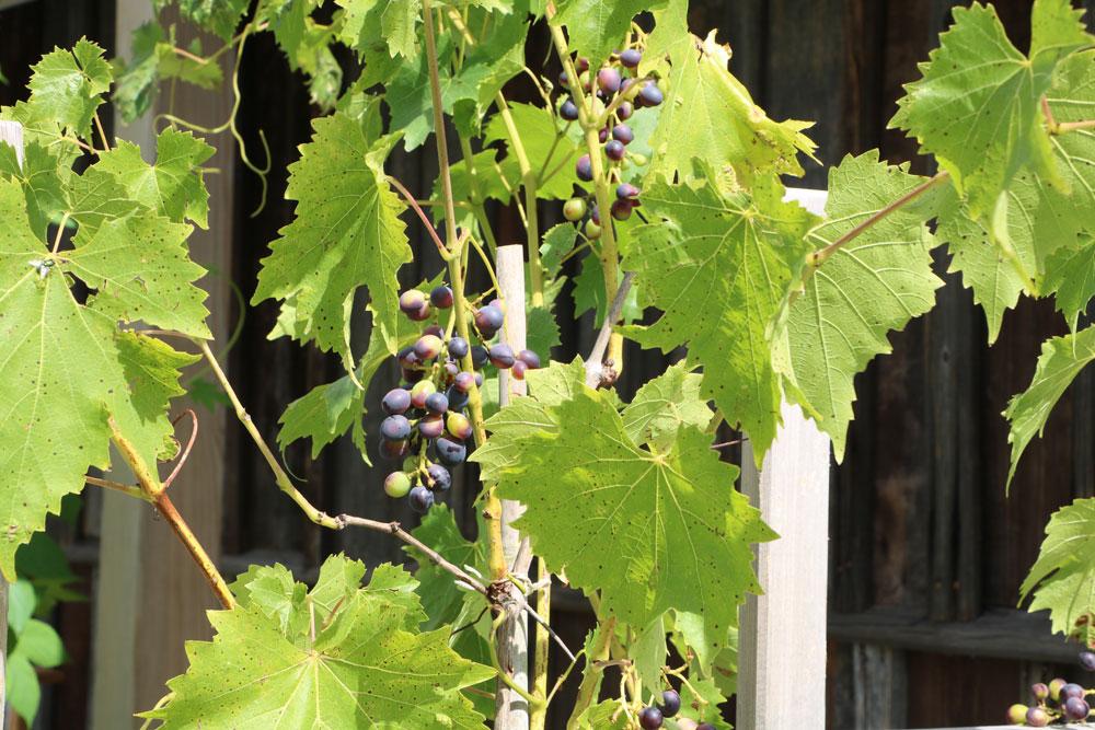 Wann Weinreben schneiden - Wir zeigen es?