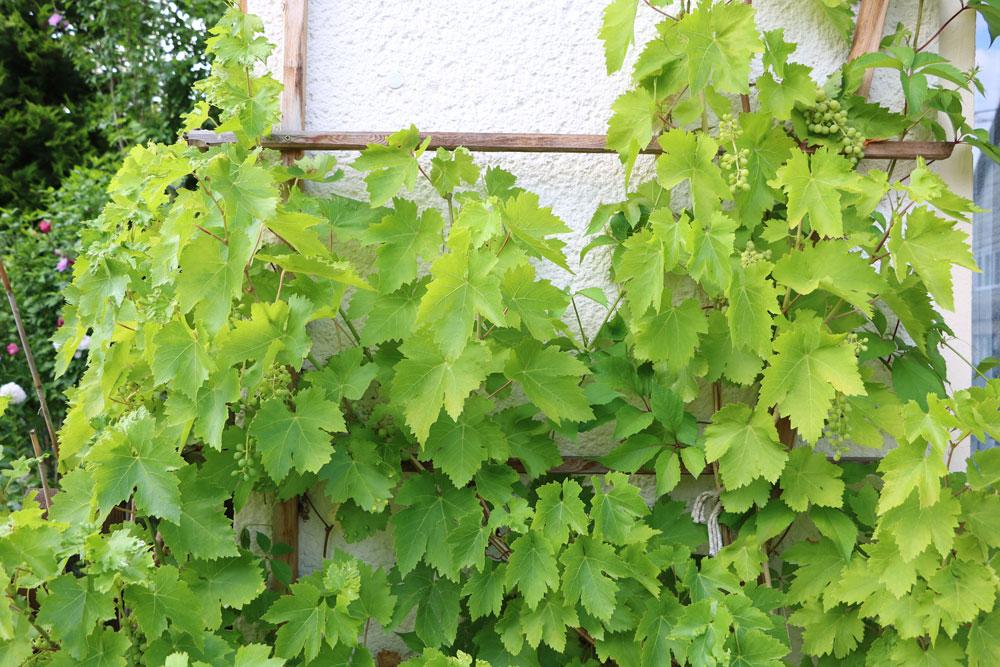 Weinreben im Frühjahr schneiden